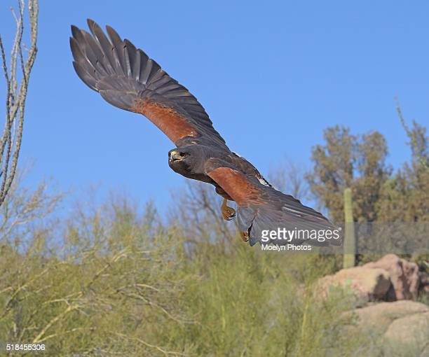 harris hawk swooping down - diving to the ground stock pictures, royalty-free photos & images