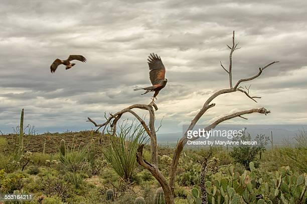 harris hawks - harris hawk stock photos and pictures