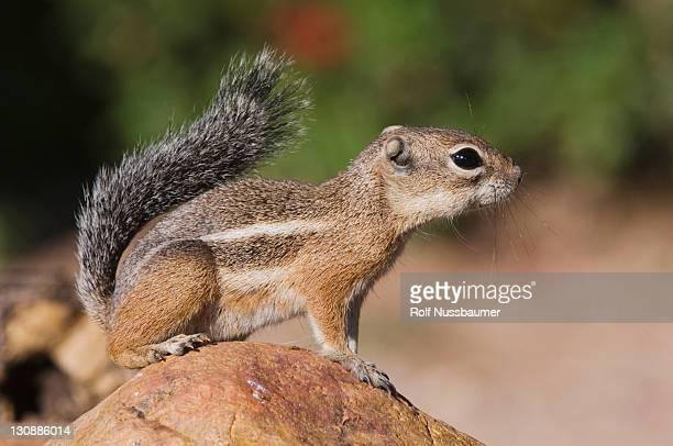 Harris's Antelope Squirrel (Ammospermophilus harrisii), adult on branch, Tucson, Arizona, USA