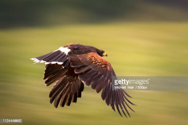 harriss hawk during flight - harris hawk stock photos and pictures