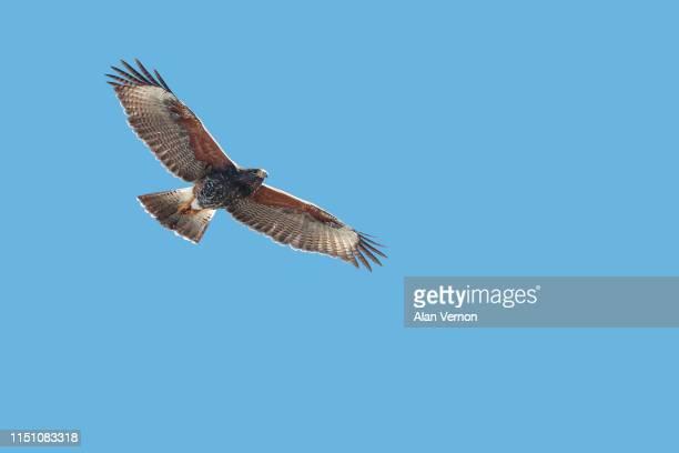 harris's hawk in flight - arizona bird stock pictures, royalty-free photos & images