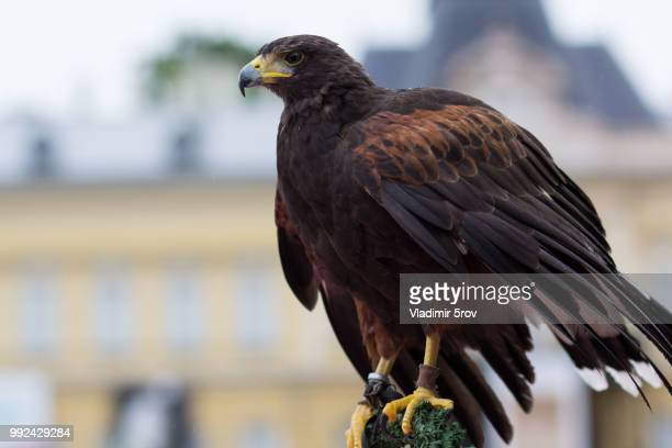 Harris's Hawk In The Big City