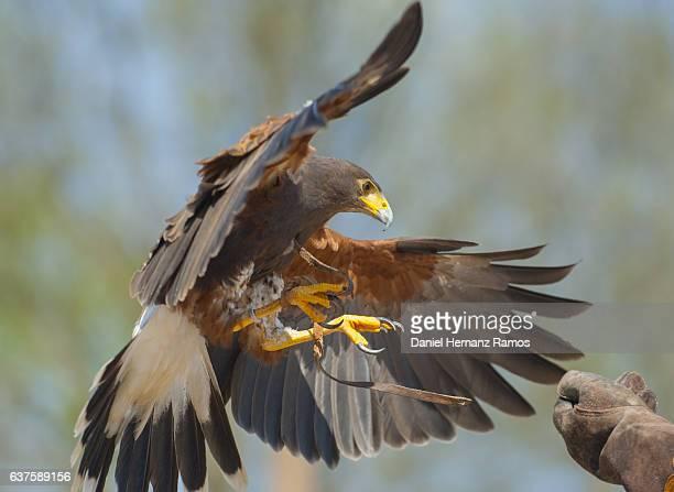 Harris's hawk landing on a falconer hand