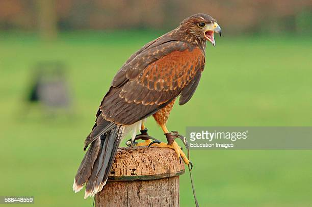 Harris's Hawk Parabuteo unicinctus ICBP Newent Gloucestershire