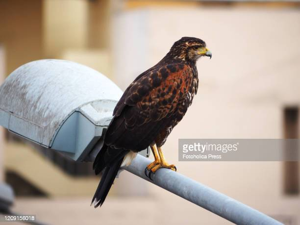 Harris's Hawk perched on a lamppost hunting in the middle of Lima city Since the mandatory coronavirus quarantine was instituted wild animals have...