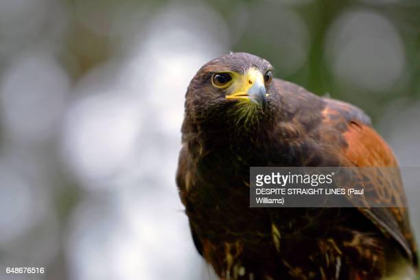 harris's hawk (parabuteo unicinctus) - harris hawk stock photos and pictures