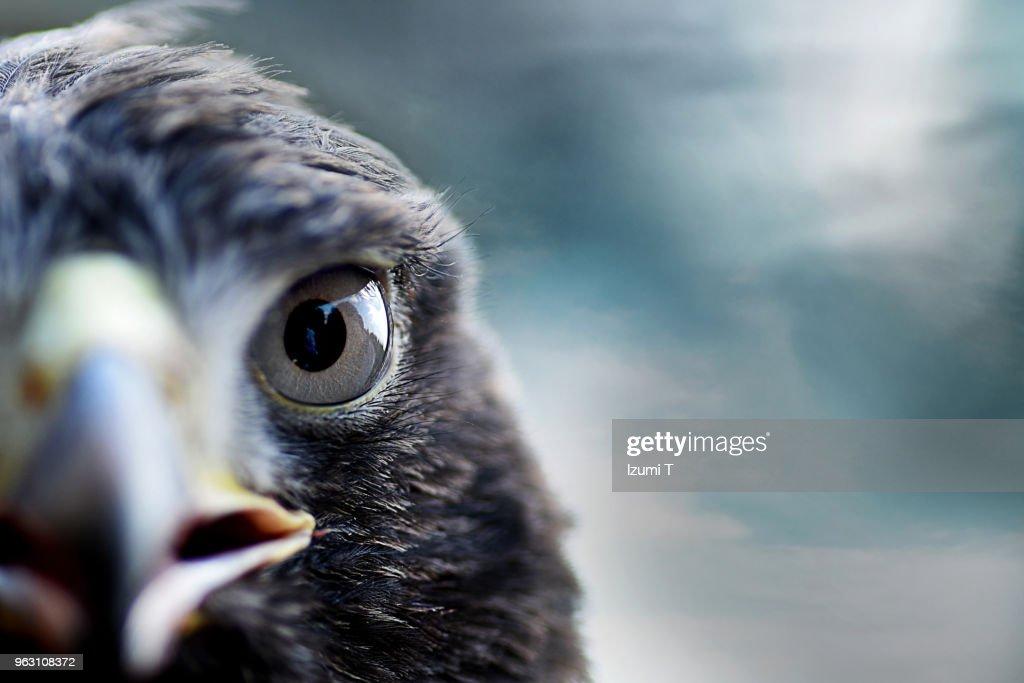 Harris's Hawk : Stock Photo