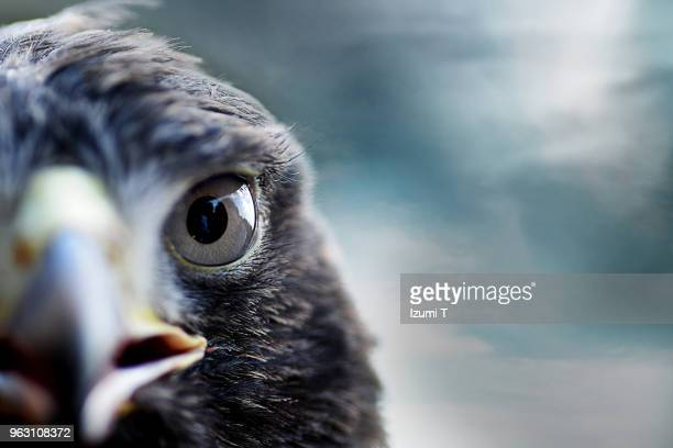 harris's hawk - animal eye stock pictures, royalty-free photos & images