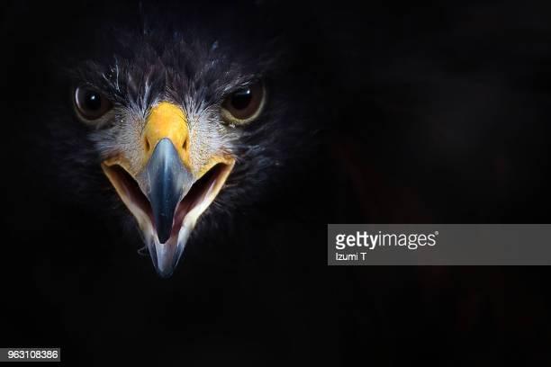harris's hawk - raubvogel stock-fotos und bilder