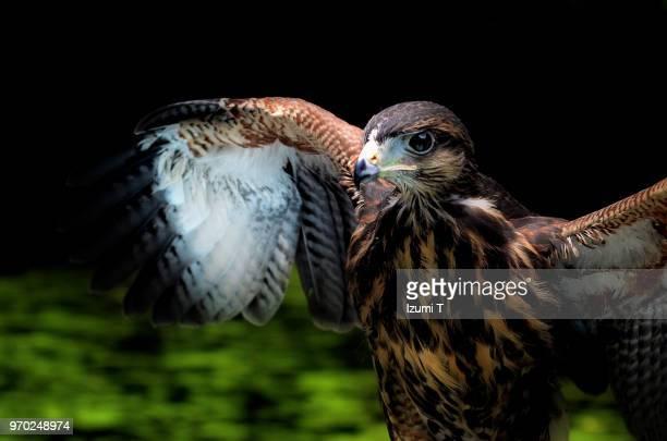 harris's hawk - hawk imagens e fotografias de stock