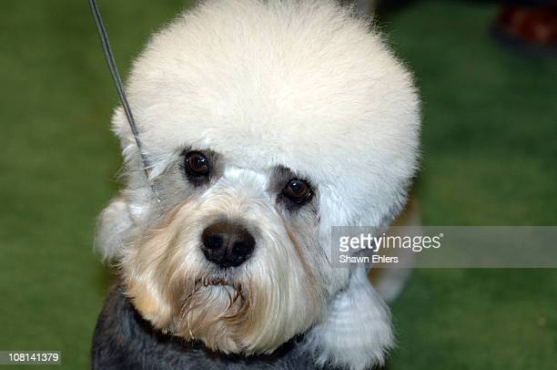 Harry, Dandie Dinmont Terrier, winner of terrier group, during the 2007 Westminster Kennel Club dog show at Madison Square Garden in New York City,...