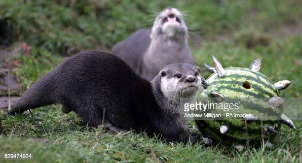 Harry the otter feels for more sprats inside this water melon Staff at Blair Drummond safari park are using this type of to the animal enrichment...