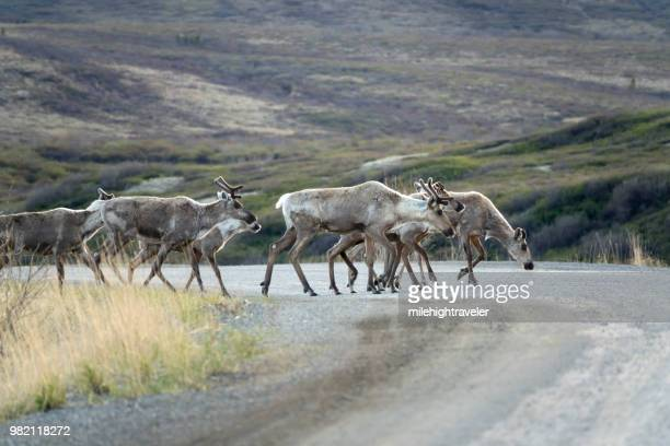 Hart River Woodland caribou herd Yukon Dempster Highway Tombstone Territorial Park Ogilive Mountains
