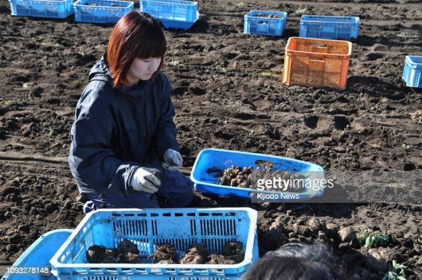 Haruna Endo who runs konnyaku factory Kasho in Numata Gunma Prefecture eastern Japan picks konjac plants at a farm near the factory on Oct 29 2018...