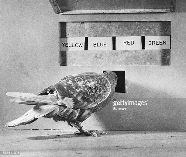 Harvard professor BF Skinner conducts psychological experiment with pigeons in which they must match a colored light with a corresponding colored...