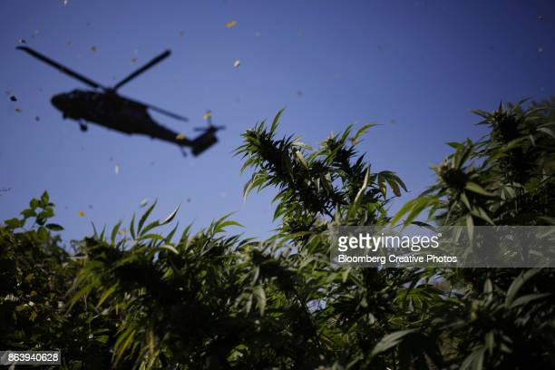 harvest and burn of illegally grown marijuana - helicopter photos stock pictures, royalty-free photos & images