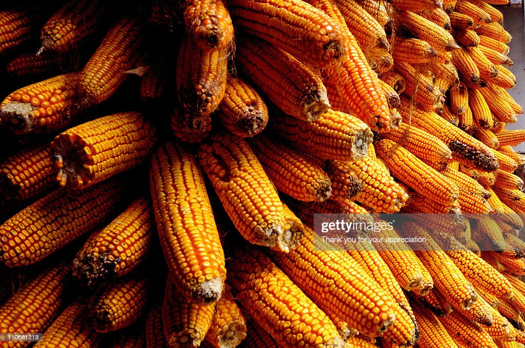 Harvest corn : Stock Photo
