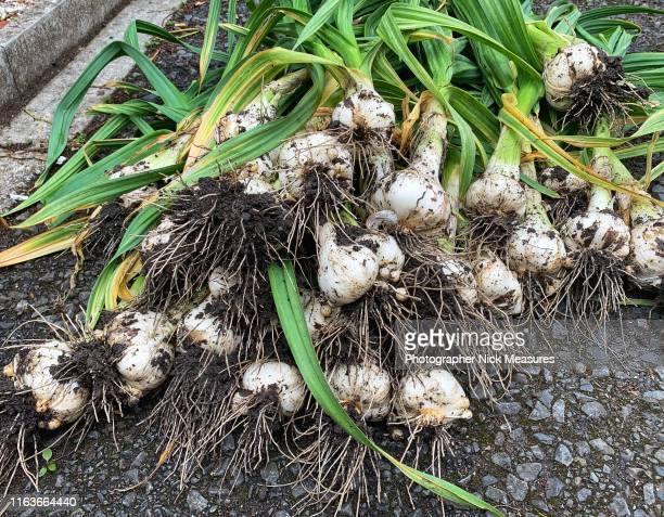 harvest day  organic elephant garlic home grown - cultivated stock pictures, royalty-free photos & images