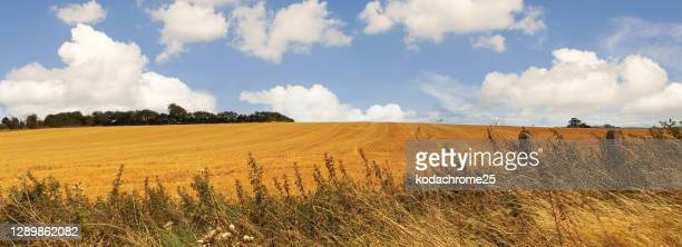 harvest field of wheat harvest summer  england uk - equirectangular panorama stock pictures, royalty-free photos & images
