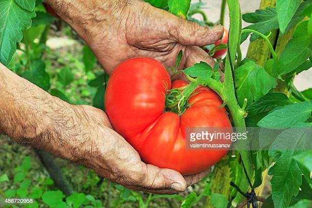 Harvest Hands Big Tomato
