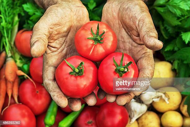 harvest hands tomatos - tomato harvest stock pictures, royalty-free photos & images