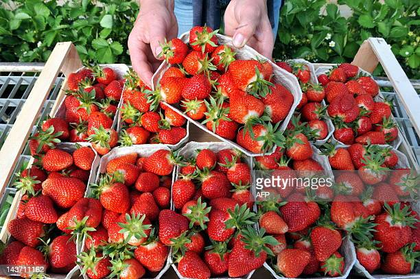 A harvest helper presents freshly cropped strawberries on April 18 2011 in Bahlingen southern Germany Hundreds of seasonal workers travel to Germany...