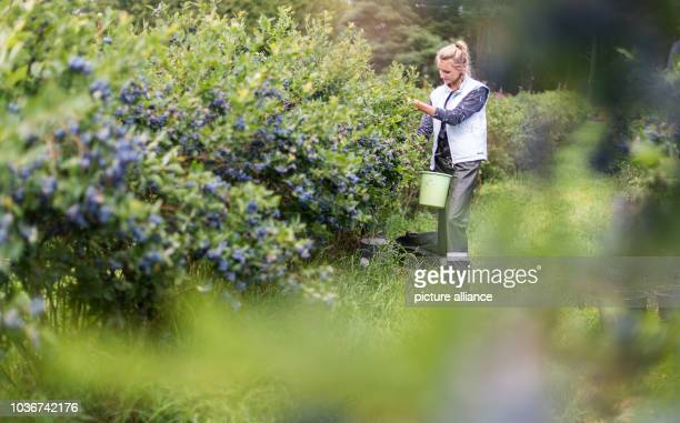 Harvest helpers pluck blueberries on a blueberry plantation near Neustadt am Ruebenberge Germany 15 July 2016 The season for blueberries in Lower...