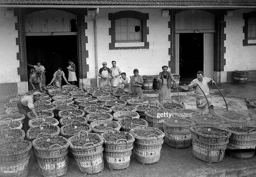 Harvest in Champagne (Moeet et Chandon). On 1941. : News Photo