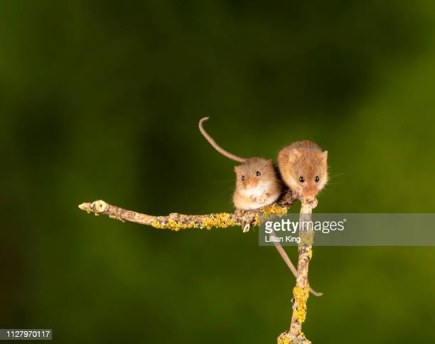 harvest mice  having a get together - harvest mouse stock pictures, royalty-free photos & images