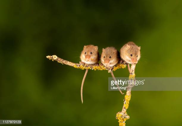 harvest mice  having a get together - cute mouse stock pictures, royalty-free photos & images