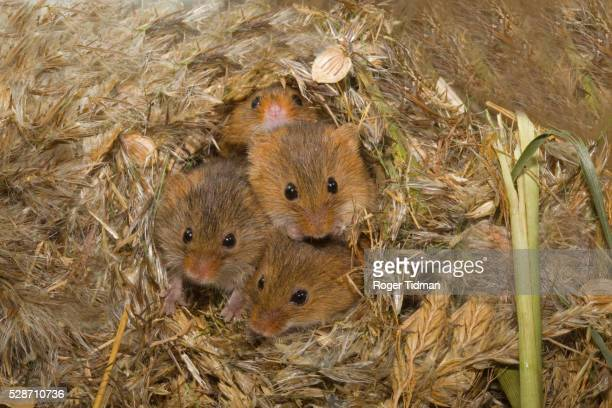 Harvest Mice peering from nest made from Phragmites
