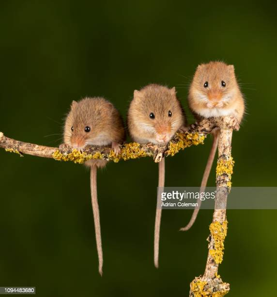 harvest mice - cute mouse stock pictures, royalty-free photos & images