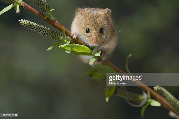 harvest mouse (micromys minutus) adult on willow, norfolk, uk - harvest mouse stock pictures, royalty-free photos & images