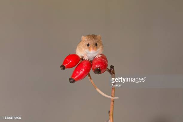 Harvest Mouse adult standing on Dog Rose berries Suffolk England UK November controlled subject