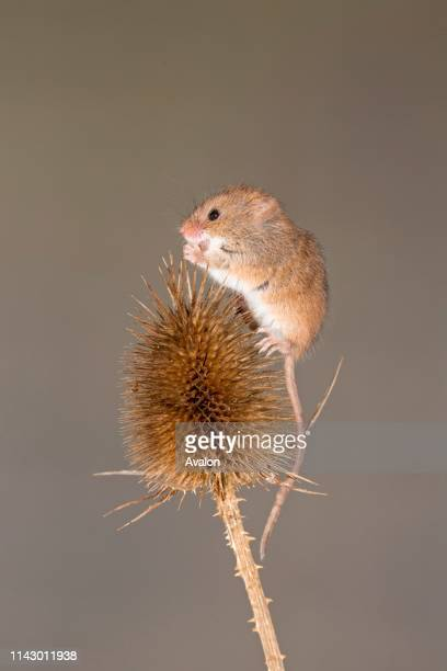 Harvest Mouse adult standing on Teasel seed head Suffolk England UK November controlled subject