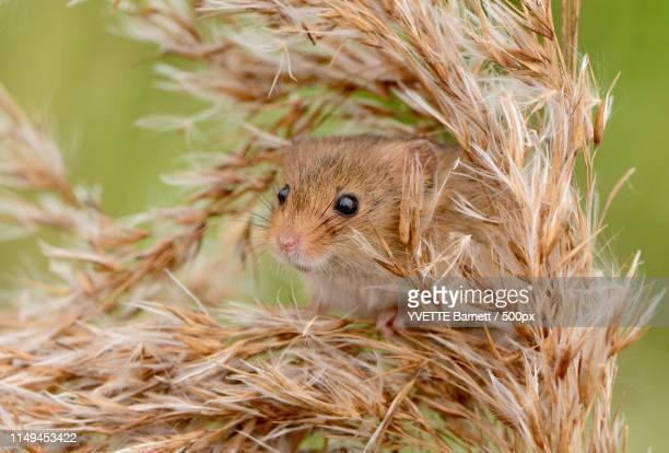 harvest mouse close up - harvest mouse stock pictures, royalty-free photos & images