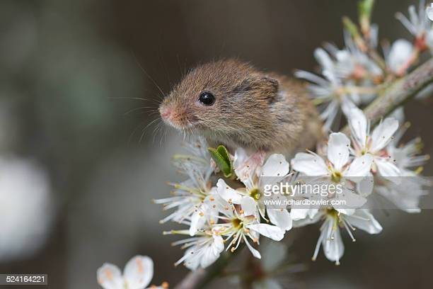 a harvest mouse (micromys minutus) in blossom - harvest mouse stock pictures, royalty-free photos & images