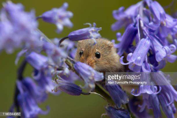 harvest mouse in bluebells - harvest mouse stock pictures, royalty-free photos & images