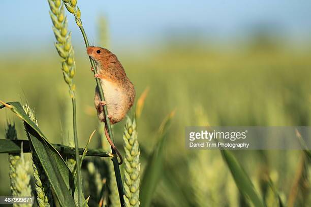 harvest mouse in crop field - harvest mouse stock pictures, royalty-free photos & images