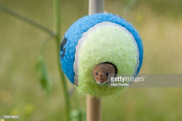 Harvest Mouse (Micromys minutus) in tennis ball, Norfolk, United Kingdom