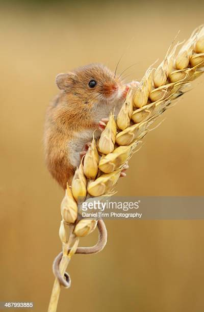 harvest mouse in wheat ear - harvest mouse stock pictures, royalty-free photos & images