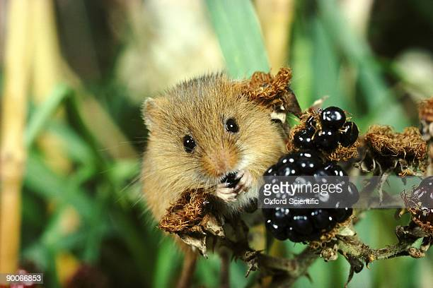 harvest mouse micromys minutus eating blackberry