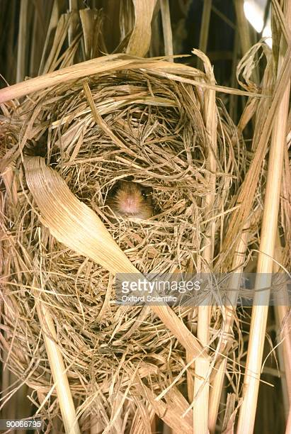 harvest mouse micromys minutus in nest - harvest mouse stock pictures, royalty-free photos & images