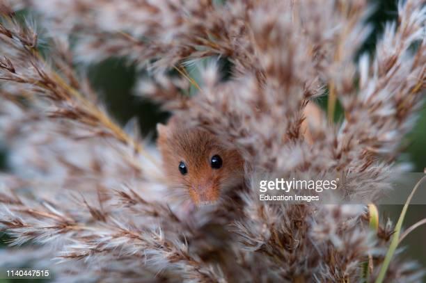 Harvest Mouse Micromys minutus Norfolk UK