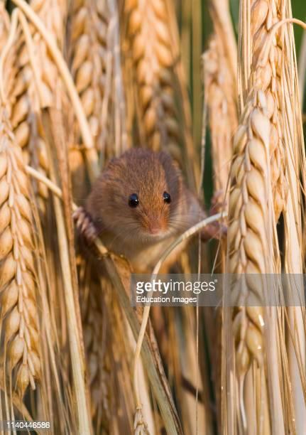 Harvest Mouse Micromys minutus on Barley Norfolk