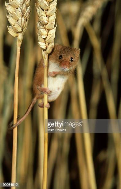harvest mouse: micromys minutus  on cereal stalks  norfolk - harvest mouse stock pictures, royalty-free photos & images