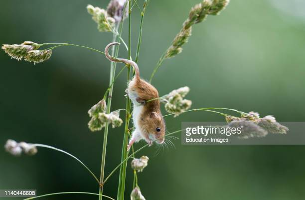 Harvest Mouse Micromys minutus on nature reserve Norfolk
