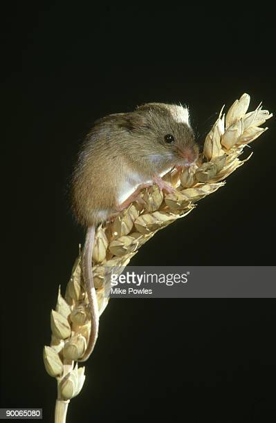 harvest mouse, micromys minutus, on wheat, norfolk, england