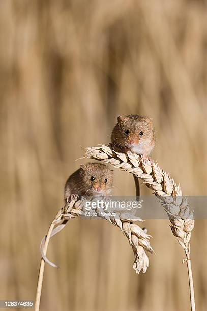 harvest mouse, micromys minutus, on wheat stalks, norfolk uk - cute mouse stock pictures, royalty-free photos & images