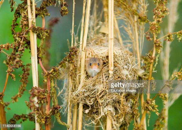 Harvest Mouse Micromys minutus peering out of nest summer UK